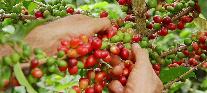 コーヒーの収穫
