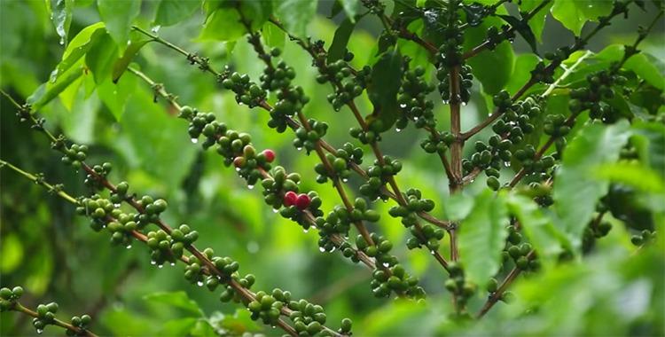 コロンビアコーヒーの産地、カナサレ