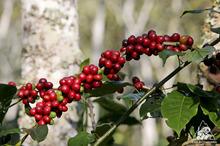 コロンビアコーヒー生産量増加!