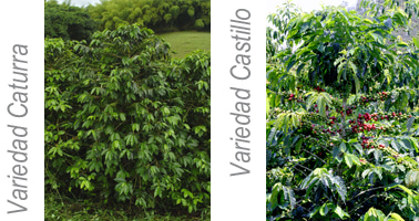 Castillo種とCaturra種の間に品質の差はない?