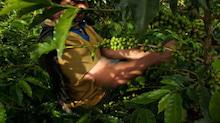 アラビカ種の品種改良について